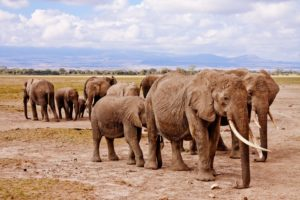 Safari Vacation Package:: large herds of elephants in Kenya