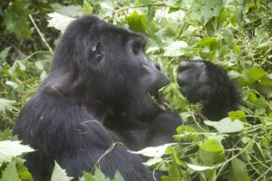 Safari Vacation Package:mountain gorilla in Uganda