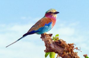 Safari Vacation Package: lilac breasted roller