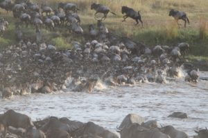 Ultimate safari adventure: great wildebeest migration river crossing
