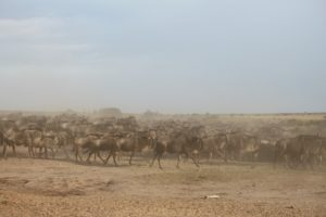 wildebeests during the great migration