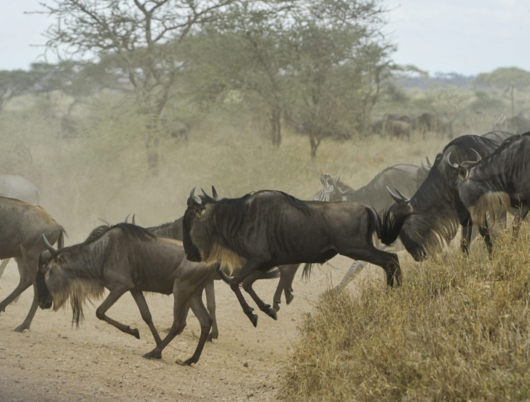 wildebeest migrating across the plain