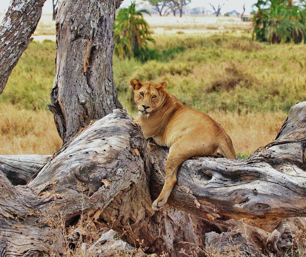 Lioness At Ruaha