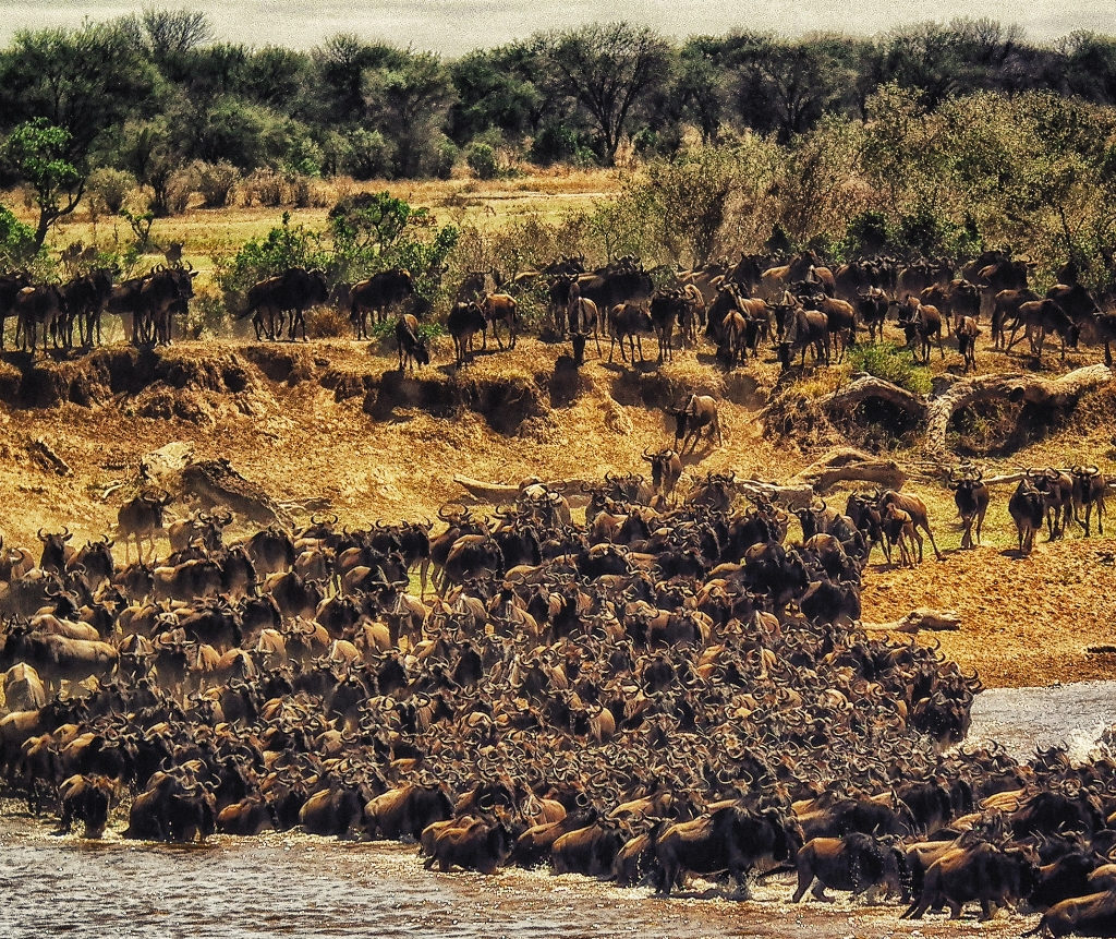 Wildebeest At Serengeti