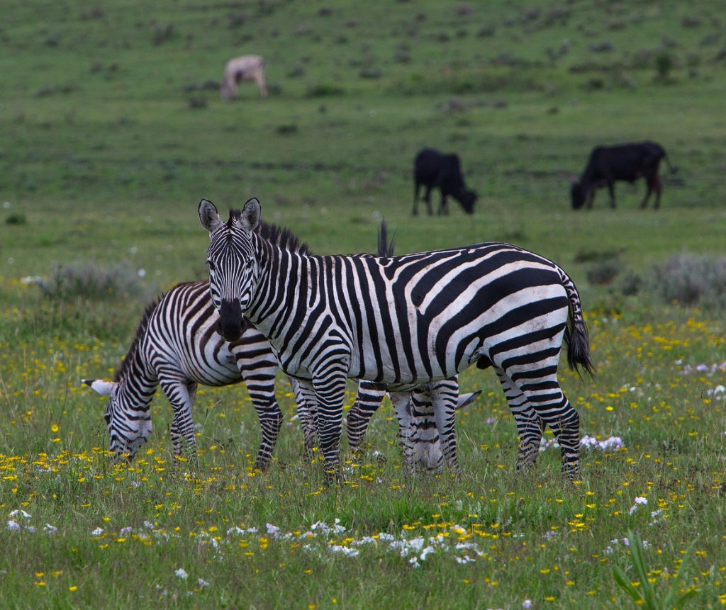Zebras At Ngorongoro