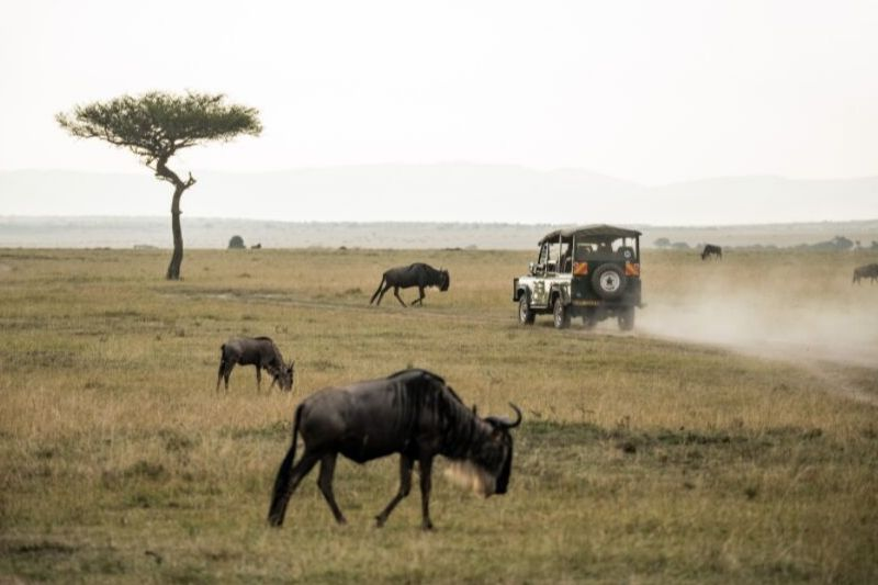 Game Drive With Wildebeest. What To Expect In A Group Joining Safari Tour. Leadwood Expeditions