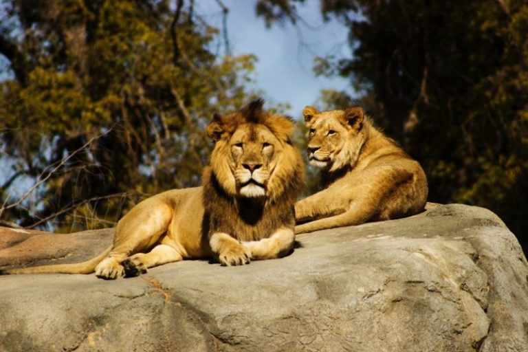 Lion and Lioness on Top of Rocks
