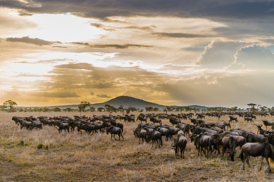 Wildebeest grazing Masai Mara Vs Serengeti: Where To Go If You Can Only Choose One. Leadwood Expeditions