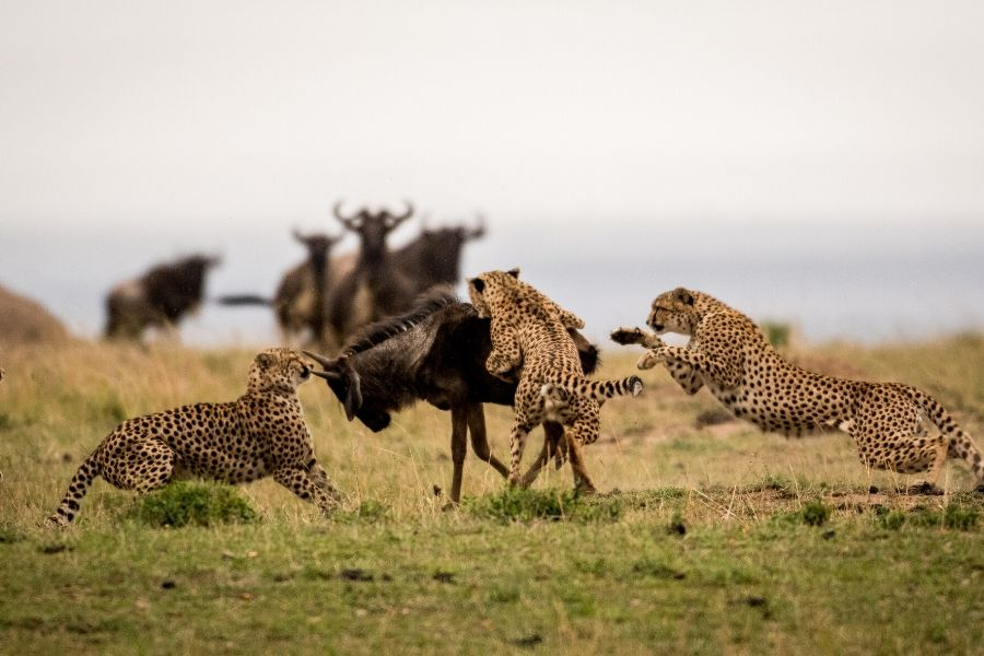 Predator and Prey. Masai Mara Vs Serengeti: Where To Go If You Can Only Choose One. Leadwood Expeditions