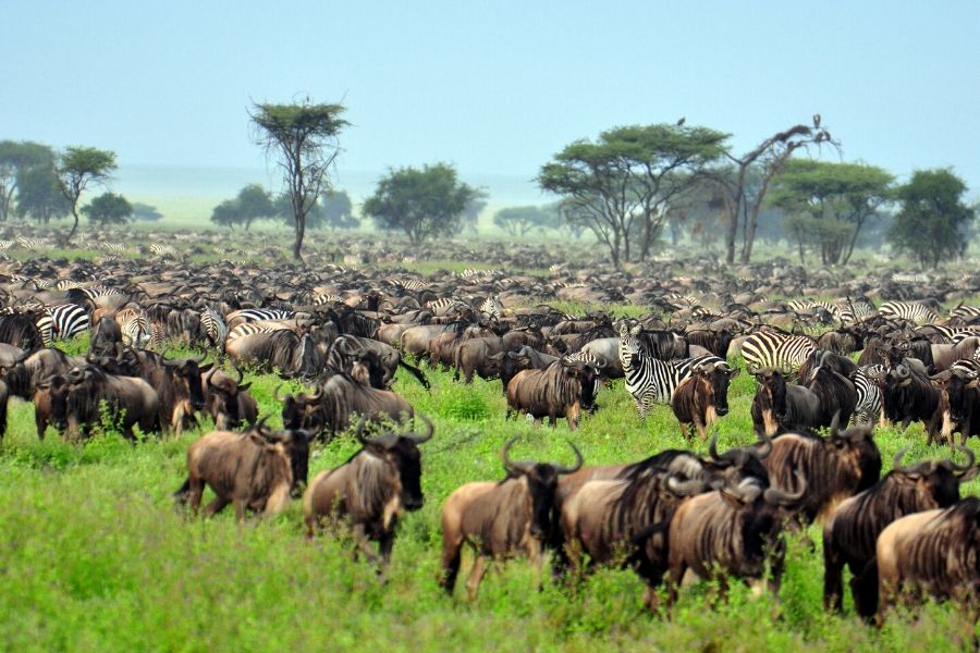 Great Migrationi. Masai Mara Vs Serengeti: Where To Go If You Can Only Choose One. Leadwood Expeditions