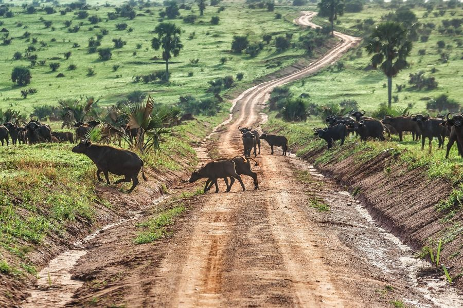 Buffalos crossing the park. Kenya vs. Tanzania: Which safari to choose for first-timers. Leadwood Expeditions