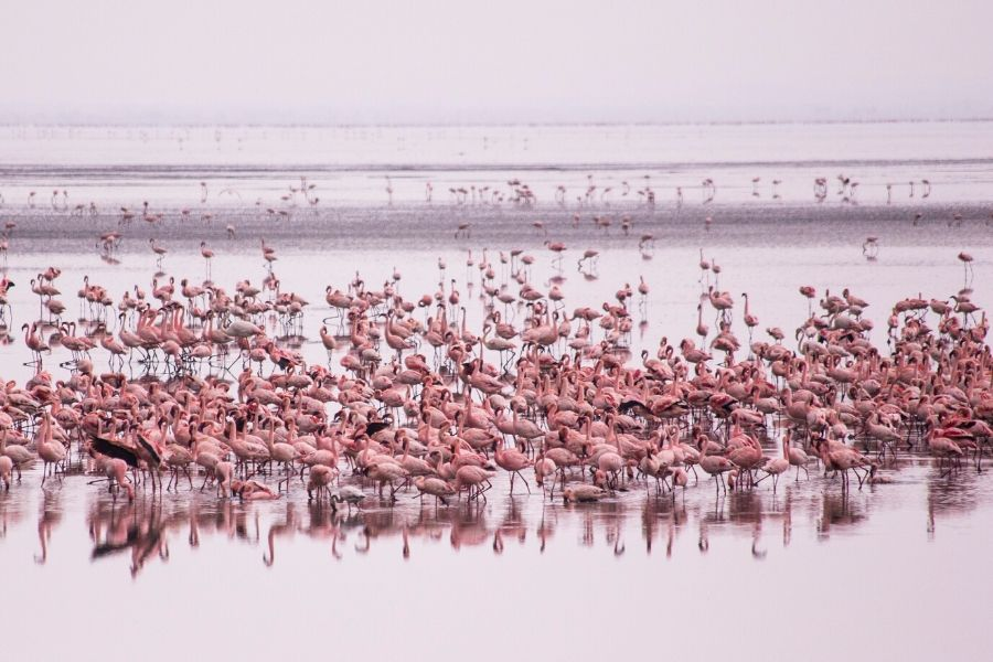 Pink flamingos in Lake Manyara. Kenya vs. Tanzania: Which safari to choose for first-timers. Leadwood Expeditions