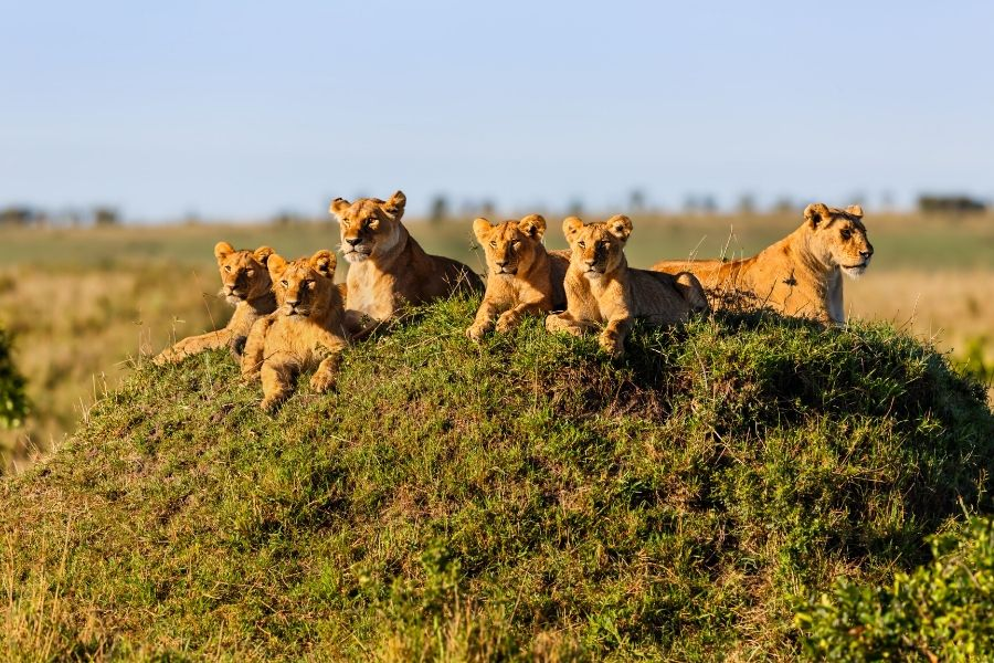 Lions in the masai mara park. Kenya vs. Tanzania: Which safari to choose for first-timers. Leadwood Expeditions