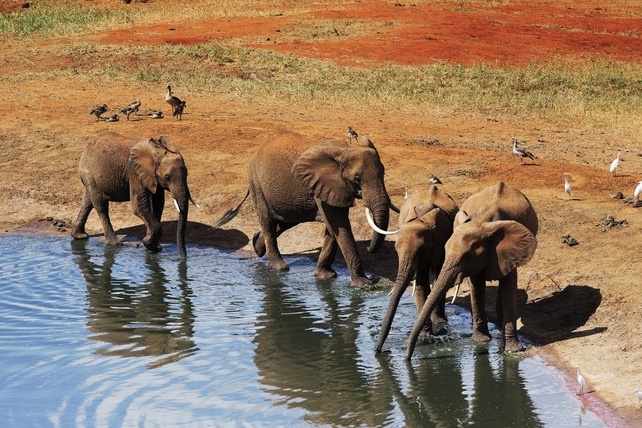 elephants in Tsavo. Kenya vs. Tanzania: Which safari to choose for first-timers. Leadwood Expeditions